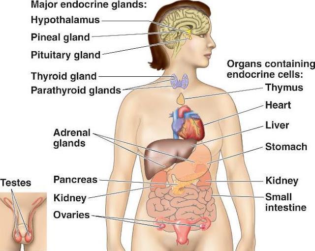 glandulas asociadas al sistema digestivo vert L uF6lmD