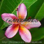 frangipani-maniac