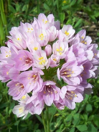 Allium roseum 10 stk