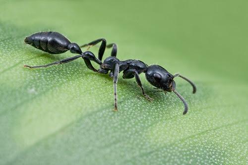 Tetraponera sp. ant...IMG_0252 copy