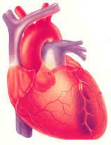 Kalp Organ Hakkında Bilgi