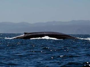 Φωτογραφία για ΑΠΙΣΤΕΥΤΟ : Φάλαινα στην Αίγινα !