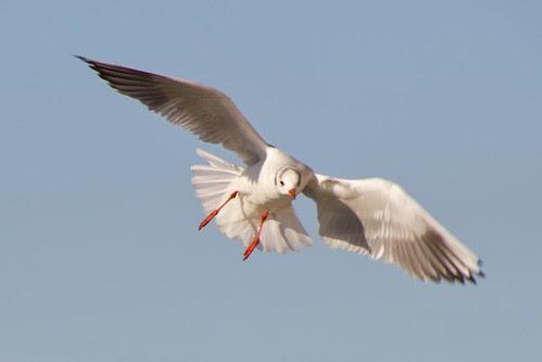Gaviota con sus alas desplegadas sobre el Nervión