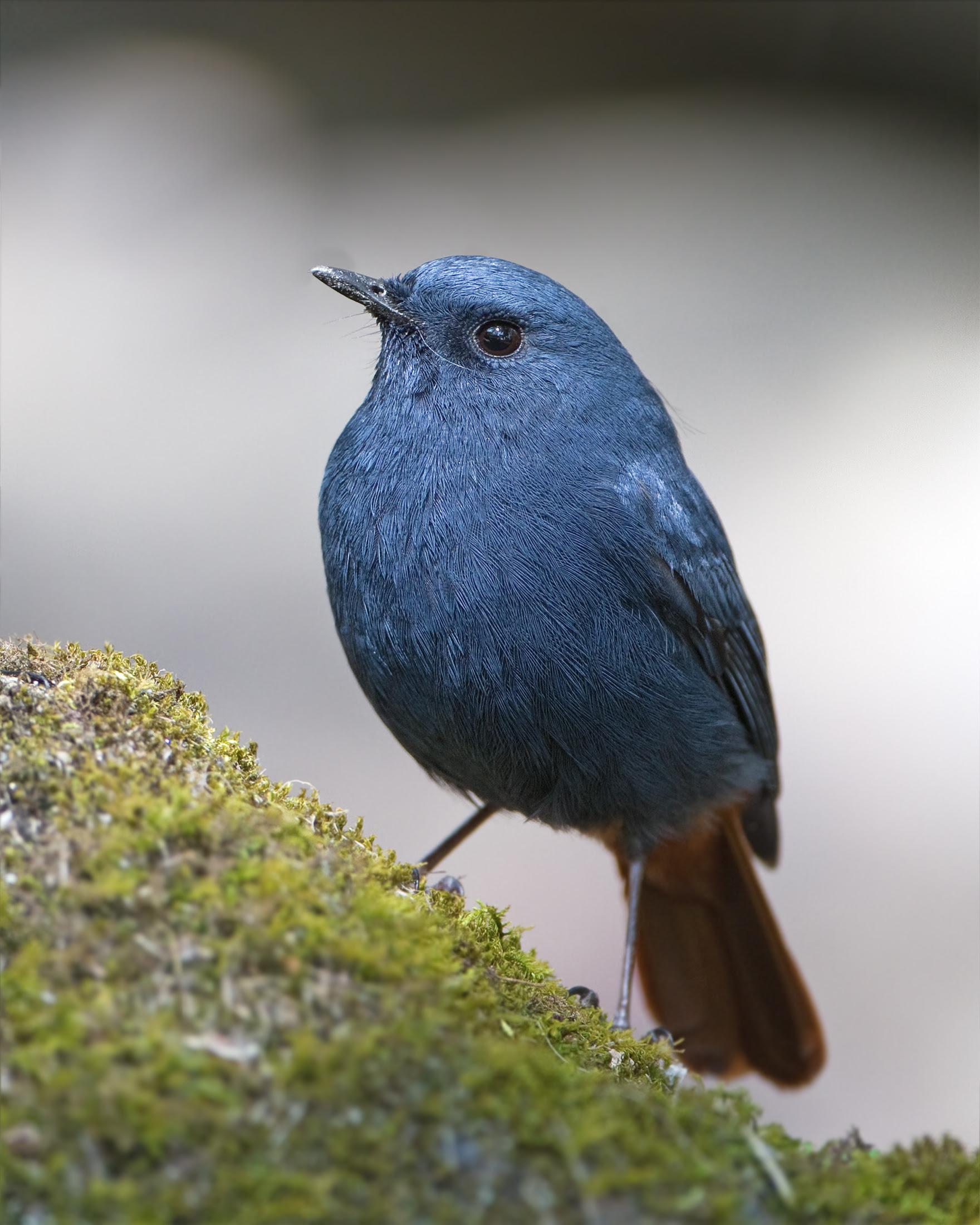 http://upload.wikimedia.org/wikipedia/commons/4/4e/Rhyacornis_fuliginosus_-_Doi_Inthanon.jpg
