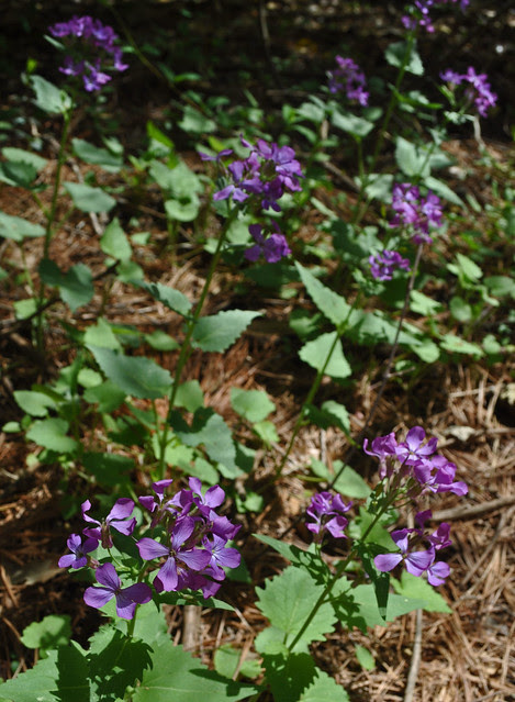 Lunaria annua (my best guess)