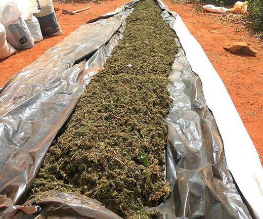 400 mil pés da erva foram erradicados e uma tonelada da droga, que estava em processo de secagem, foi apreendida