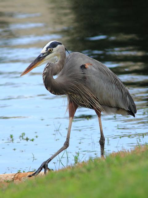 Great Blue Heron 2-20121211