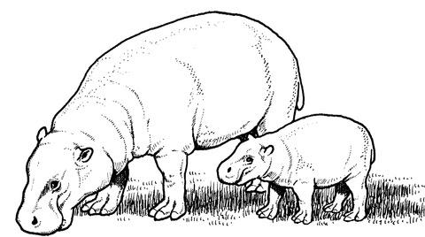 Dibujos De Hipopotamo Para Colorear E Imprimir Imagesacolorierwebsite