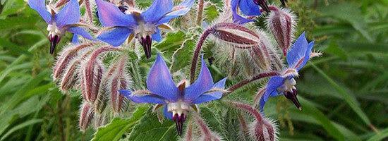 Μποράντζα (Borago officinalis)