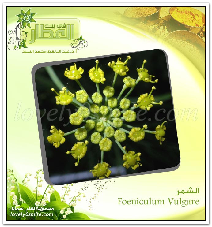 الشمر - Foeniculum Vulgare