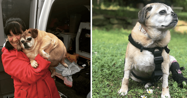 """Rescue Puggle With """"Jabba the Hutt"""" Body Loses Half Her Weight"""