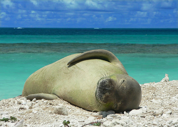 The Critically Endangered Hawaiian monk seal (<i>Monachus schauinslandi</i>). Photo courtesy of Dash Masland.