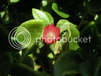 Red Flower - Photobucket.com