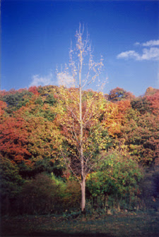Beech at Eastwood Farm, photograph by Joules, 1993 or thereabouts...