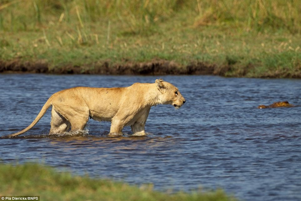 Lurking: The lioness spots the giant crocodile's head partially submerged in the waters of the river