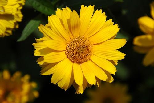 Unknown Asteraceae