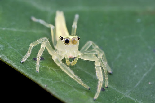 Yellow translucent jumping spider...IMG_2317 copy