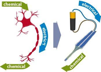 Neurônio artificial conecta-se a células humanas