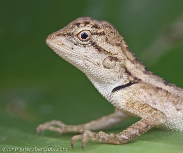 IMG_9491 merged copy baby lizard Calotes emma