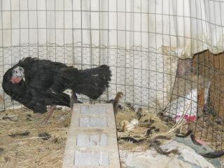 New Turkey Chicks 2017