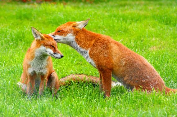 2016-04-12-1460457128-8945803-Red_Fox_Vulpes_vulpes_British_Wildlife_Centre8.jpg