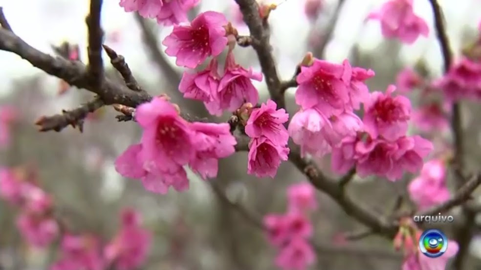 Festa das cerejeiras em Garça completa 31 anos  (Foto: Reprodução/TV TEM)
