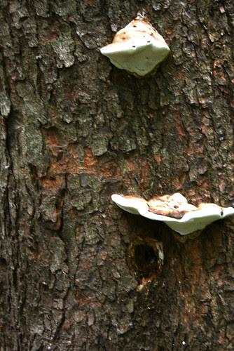 mba mushrooms