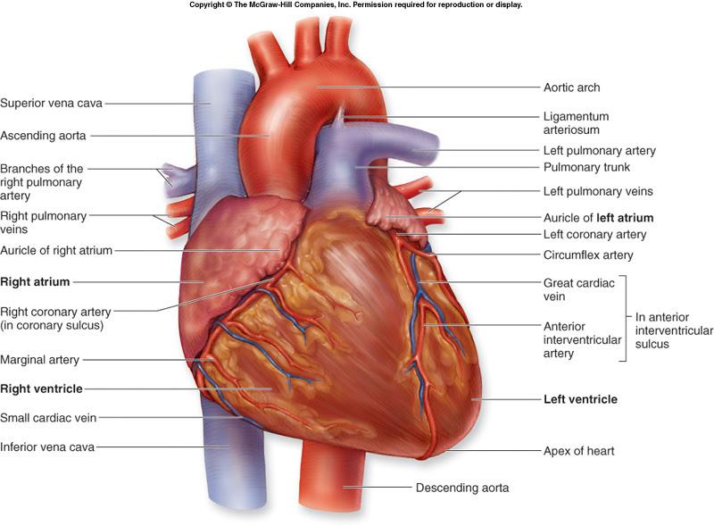 Heart Diagram - External Anatomy