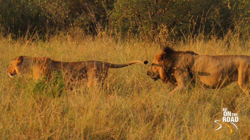Lion chases the lioness