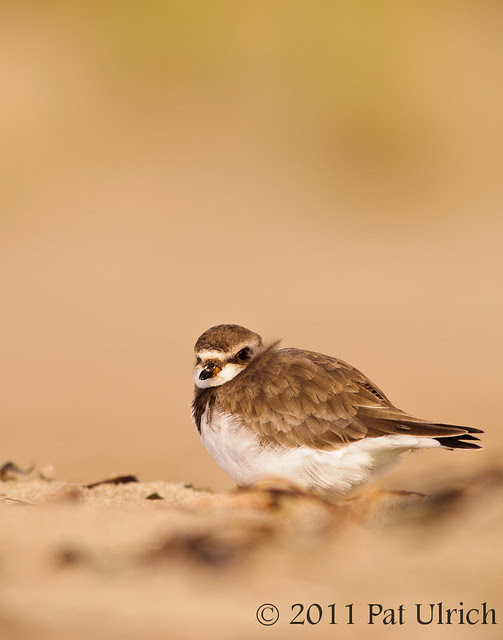 Semipalmated plover - Pat Ulrich Wildlife Photography