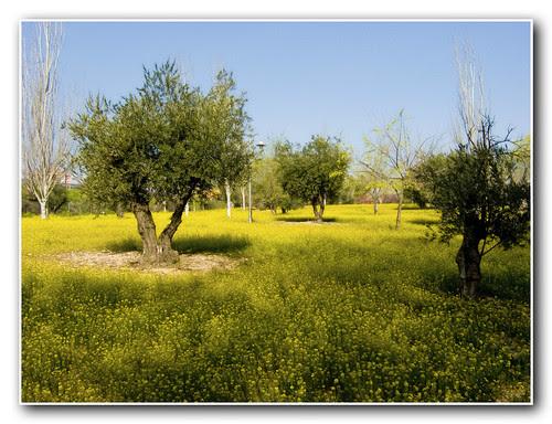 las afueras: jaramagos y olivos