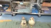 hi-chickens-8col
