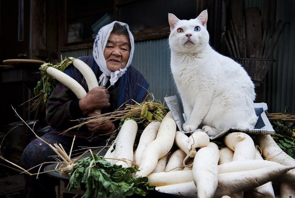 Fukumaru, The Friendliest Cat With Heterochromia