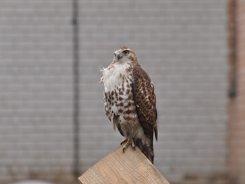 One-Eyed Juvenile Red-Tail
