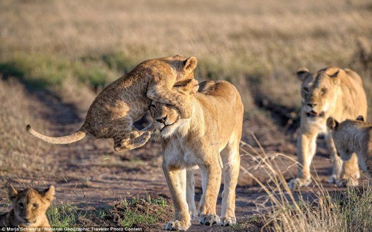 λιονταρια