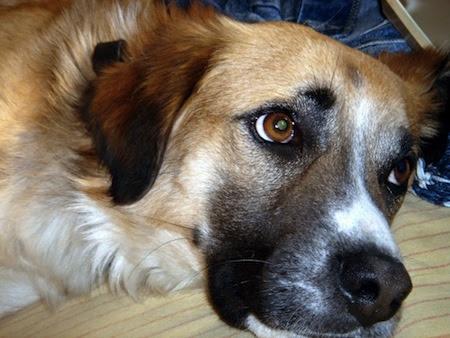 Los perros mestizos hacen parte de las razas más nobles