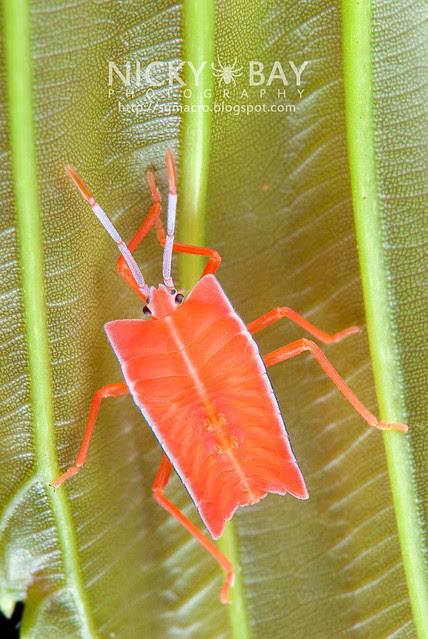Stink Bug nymph (Pentatomidae) - DSC_1829