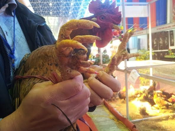 Chú gà này có 7 cựa, song nhìn thần thái uy dũng khác thường…