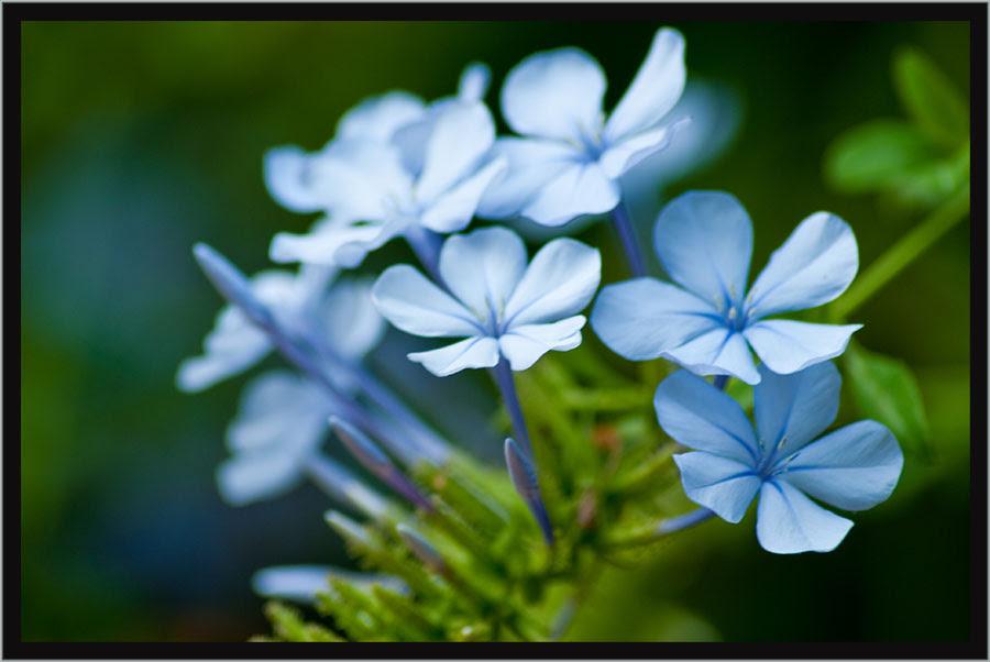 Flores Sencillas Pentaxeroscom