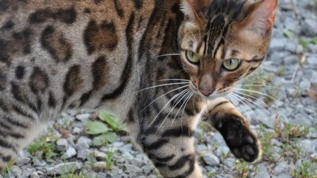 ¿Conoces a Toyger, el gato tigre?