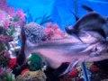 כריש פארון שקצת גדול לאקווריום שלו