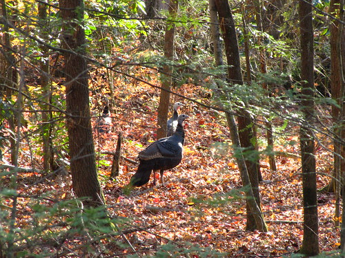 IMG_6546_Turkeys_Across_Road_from_Site_of_Old_Wonderland_Hotel