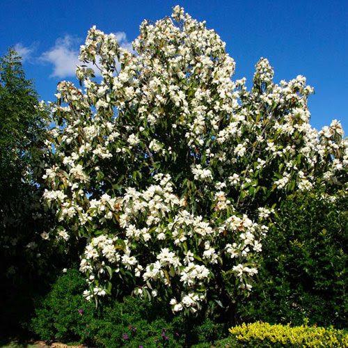 Magnolia Grandiflora trees Ireland clarenbridge online garden centre