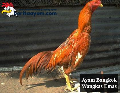 6000 Gambar Ayam Wangkas Emas  Terbaru