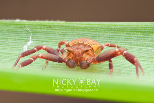 Crab Spider (Thomisidae) - DSC_3493