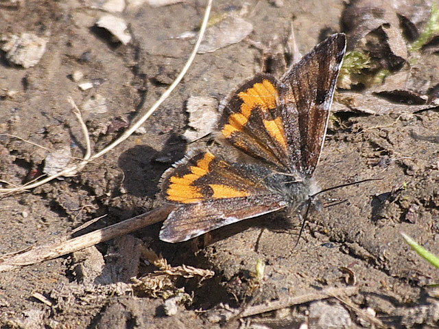 DSC_3777 Orange Underwing moth