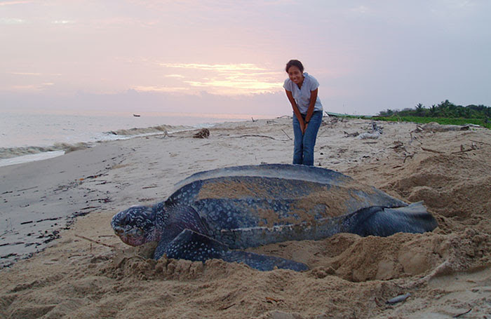4 - Giant Leatherback Sea Turtle