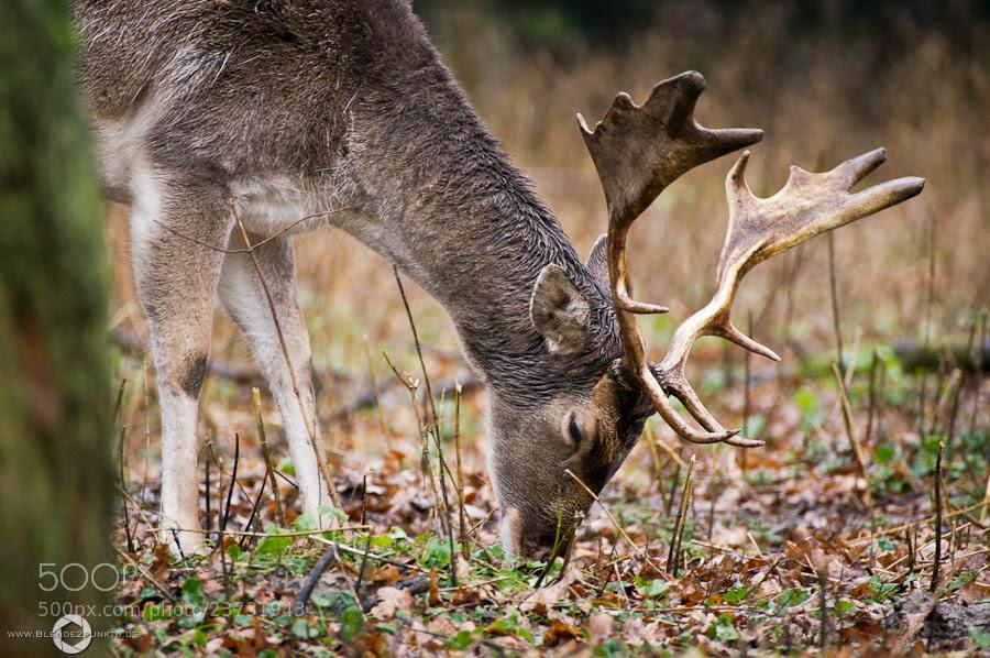 *fallow deer* by Nico Frische (Blende2punkt8)) on 500px.com