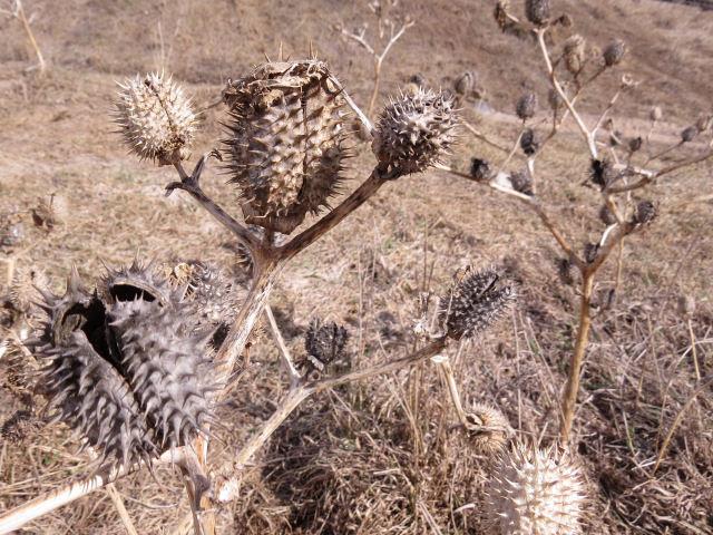 jimsonweed seed pods