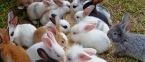 Kelinci hias merupakan jenis kelinci yang jinak 13 Cara Ternak Kelinci Hias Sukses